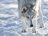 Alaskan Tundra Wolf (Canis Lupus Tundrarum) in Winter, Grizzly and Wolf Discovery Center, West Yell Photographic Print by Kimberly Walker