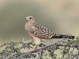 Immature Greater Kestrel (White-Eyed Kestrel) (Falco Rupicoloides), Kgalagadi Transfrontier Park, F Photographic Print by James Hager