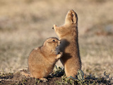 Two Black-Tailed Prairie Dog (Blacktail Prairie Dog) (Cynomys Ludovicianus) with One Calling, Custe Photographic Print by James Hager