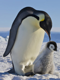 Emperor Penguin (Aptenodytes Forsteri) Parent with Chick on Ice, Snow Hill Island, Antarctica Photographic Print by Keren Su