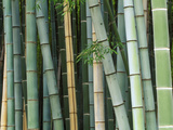 Bamboo Forest, Kyoto, Japan Photographic Print by Rob Tilley