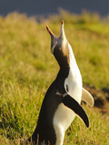 Yellow-Eyed Penguin (Megadyptes Antipodes), Katiki Point, Otago, South Island, New Zealand Photographic Print by Fredrik Norrsell