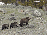 Grizzly Bear (Ursus Arctos Horribilis) Sow with Two Yearling Cubs, Yellowstone National Park, UNESC Photographic Print by James Hager