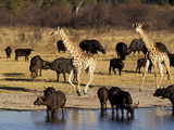 Giraffe and Cape Buffalo Drinking at Nyamandlove Pan, Hwange National Park, Zimbabwe Photographic Print by William Sutton