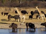 Giraffe and Cape Buffalo Drinking at Nyamandlove Pan, Hwange National Park, Zimbabwe Photographic Print by William Sutton