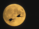 Sandhill Cranes Flying in Front of Full Moon, Bosque Del Apache National Wildlife Reserve Photographie par Ellen Anon