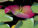Lily Pads, Washington, USA Photographic Print by Terry Eggers