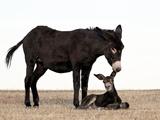 Wild Burro (Donkey) (Equus Asinus) (Equus Africanus Asinus) Jenny Biting its Foal's Ear, Custer Sta Photographic Print by James Hager