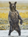 Grizzly Bear Cub Stands While Fishing , Geographic Harbor, Katmai National Park, Alaska, Usa Photographic Print by Paul Souders