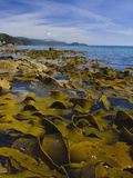 Kelp Beds Along Coast at Lee Bay, Stewart Island, Southland, New Zealand Photographic Print by Fredrik Norrsell
