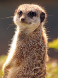 Meerkat (Suricata Suricatta), a Small Mammal Belonging to the Mongoose Family, from the Kalahari De Photographic Print by Raj Kamal