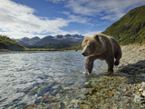 Grizzly Bear Walking Along Salmon Spawning Stream by Kinak Bay, Katmai National Park, Alaska, Usa Photographic Print by Paul Souders