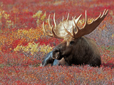 Bull Moose in Denali National Park, Alaska, USA Fotografie-Druck von Dee Ann Pederson