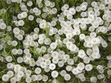 Common Dandelion, Springtime, Mantova/Mantua, Italy Photographic Print by Michele Molinari