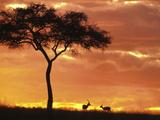 Gazelle Grazing Under Acacia Tree at Sunset, Maasai Mara, Kenya Fotografisk trykk av John & Lisa Merrill