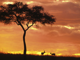 Gazelle Grazing Under Acacia Tree at Sunset, Maasai Mara, Kenya Photographic Print by John & Lisa Merrill
