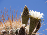 White Cactus Flower, Salta, Argentina Photographic Print by Jutta Riegel