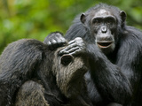 Chimpanzee Grooming Another While Resting in Clearing, Kibale Forest Reserve, Uganda Photographic Print by Paul Souders