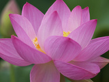 Perry's Water Garden, Lotus Blossom, Franklin, North Carolina, USA Photographic Print by Joanne Wells
