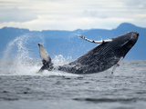 Humpback Whale Calf Breaching in Frederick Sound, Tongass National Forest, Alaska, Usa Photographic Print by Paul Souders