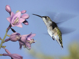 Hummingbirds in Indianapolis Backyard, Indiana, Usa Photographic Print by Anna Miller