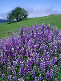 River Lupine and Oregon White Oak Tree, Bald Hills, Redwood National Park, California, Usa Photographic Print by Scott T. Smith