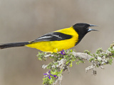 Audubon's Oriole (Icterus Graduacauda) Adult Perched, Starr Co., Texas, Usa Photographic Print by Larry Ditto