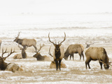 Elk Grazing in the National Elk Refuge, Jackson Hole, Wyoming, Usa Photographic Print by Daniel Schreiber