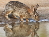 Eastern Cottontail (Sylvilagus Floridanus) Rabbit Drinking at Pond, Starr Co., Texas, Usa Photographic Print by Larry Ditto