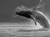 Humpback Whale Breaching, Chatham Strait, Angoon, Tongass National Forest, Alaska, Usa Fotografisk tryk af Paul Souders