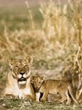 Lioness and Cub Playing in the Late Afternoon, Katavi, Tanzania Photographic Print by Daniel Schreiber