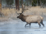 Elk Crossing Stream at Dawn, Yellowstone National Park, Wyoming, Usa Photographic Print by Daniel Schreiber