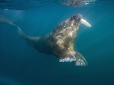 Underwater Walrus Swimming on Summer Morning, Tiholmane Islands, Svalbard, Norway Photographic Print by Paul Souders