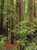 Muir Woods National Monument, Redwood Forest, California, Usa Fotodruck von Gerry Reynolds