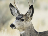 Mule Deer, Buck, Idaho, Usa Photographic Print by Gerry Reynolds