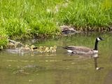 Canada Geese with Goslings at Starved Rock State Park Near Utica, Illinois, Usa Photographic Print by Chuck Haney