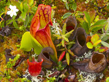 Pitcher Plants in a Bog Near Lubec, Maine, Usa Photographic Print by Chuck Haney
