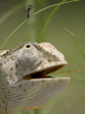 Flap Necked Chameleon Stares Up at Nearby Ant in Tall Grass, Caprivi Strip, Namibia Photographic Print by Paul Souders