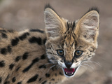 Young Captive Serval Cat, Hoedspruit Endangered Species Centre, Kapama Game Reserve, South Africa Photographic Print by Sergio Pitamitz