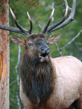 Bull Elk Bugling, Yellowstone National Park, Wyoming, Usa Photographic Print by Gerry Reynolds
