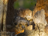 Great Horned Owls at Nest Site in Defiance, Ohio, Usa Photographic Print by Chuck Haney