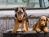 Two Airedale Puppies Photographic Print by Zandria Muench Beraldo