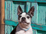 Boston Terrier Sitting in Front of an Old Southwestern Gate Photographic Print by Zandria Muench Beraldo
