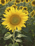 Summer Sunflowers in Tuscany, Italy Photographic Print by Michele Molinari