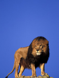 Captive African Lion (Panthera Leo) Photographic Print by Stuart Westmorland