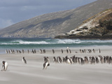 Magellanic Penguins on Sandy Beach, Saunders Island, Falkland Islands, South Atlantic Photographic Print by Bill Young