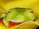 Red-Eyed Tree Frog, Agalychnis Callidryas Photographic Print by Adam Jones
