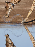 Giraffe Swishes Water as it Drinks, Etosha National Park, Namibia, Africa Photographic Print by Wendy Kaveney