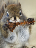 Red Squirrel, Tamiasciurus Hudsonicus, Maligne Canyon, Jasper National Park, Alberta, Canada Photographic Print by Paul Colangelo