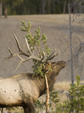Male Elk Rubbing Antlers on Evergreen Tree, Yellowstone National Park, Wyoming, Usa Photographic Print by Daniel Schreiber